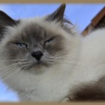 fanou_chat_birman